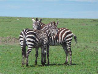 Masai Mara'da zebralar